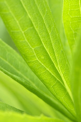 Closeup macro shot of bright green leaf texture with cell structure background.