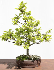 European or Common Beech (Fagus sylvatica) bonsai