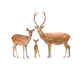 beautiful sika deer
