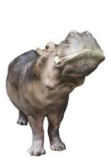 hippopotamus isolated