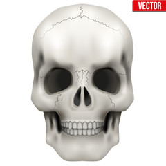 Vector Human skull. Illustration on isolated white background
