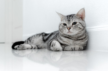 American shorthair cat is sitting and looking forward