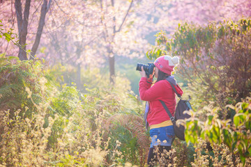 woman traveler take a photo and enjoying in cherry blossom garden, chiang mai.