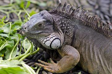 Exotic animal. Close-up of green iguana. Reptile portrait. Wildl