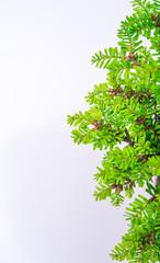 bonsai on white background