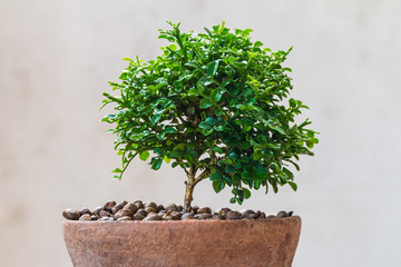 Wall Mural - Small green tree in the old pot