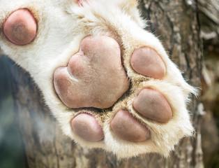 White lion's paw