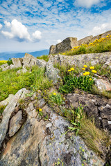 dandelions among the rocks on hillside