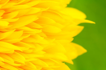 Sunflower petals close up with green background