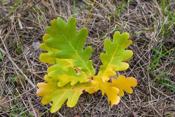 Сolored oak leaves