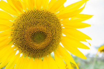 sunflower is face.