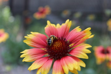 Honey bee collecting pollen on a flower.