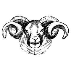 Hand drawn sketch portrait of sheep. Vector illustration