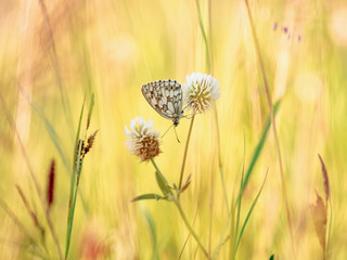 Marbled White Chessboard Butterfly
