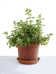 oregano herb in pot