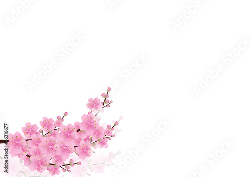 Pink Flowers Spring Background Sakura Cherry Blossom White With Copy Spaceisolated