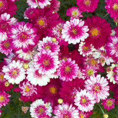 colorful small chrysanthemums closeup, natural background