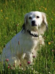 Hund i sommargräs