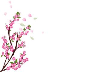 sakura  flowers  blossom on white with copy space , sakura frame