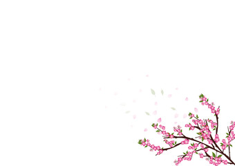 sakura  flowers  blossom on white with copy space , sakura frame