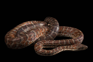 Hispaniolan boa, Chilabothrus or epicrates striatus