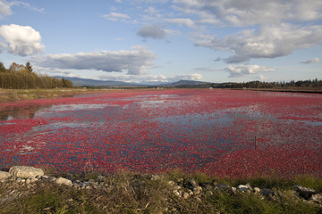 Flooded cranberry field in British Columbia Canada.