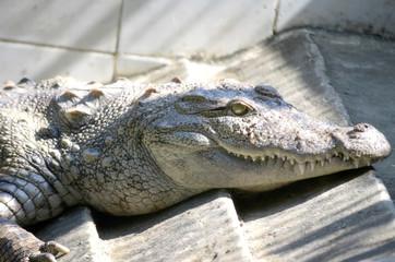 Nile Crocodile very closeup image capture.
