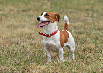Jack Russell terrier standing on lawn
