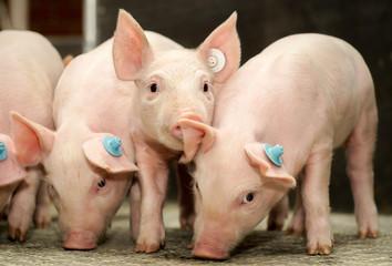 Ferkel im Schweinestall schnüffeln auf einem Treibegang am Boden