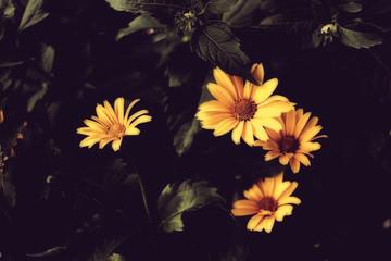 Beautiful yellow flowers on dark background.