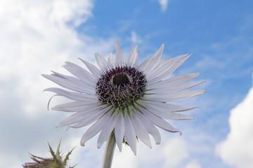 """Mauve and purple """"Zulu Warrior"""" flower (or African Thistle, Purple Berkheya, Bloudisseldoring, Sehlohlo) in Innsbruck, Austria. Its scientific name is Berkheya Purpurea, native to South Africa."""