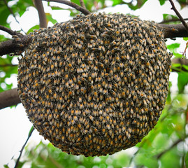 Big swarm bee on tree