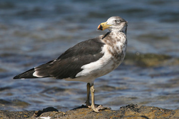 Pomarine Jaeger Stercorarius pomarinus at the beach of the south coast at Inverloch Australia
