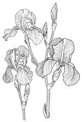 Sketch of bouquet of blooming irises