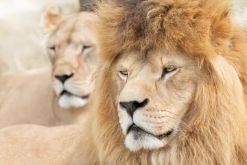 Fototapete - Beautiful lions