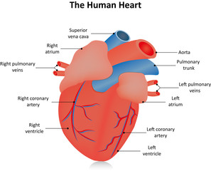 The Human Heart Labeled