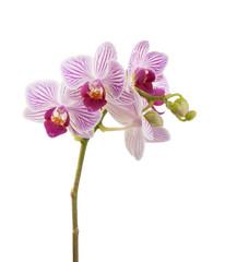 Orchidea Phalaenopsis isolated on white
