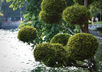 arbre ...decoratif en bordure du lac
