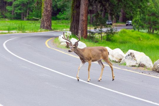 Deer crossing the street.