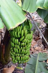 Banana plantation On Tenerife. Canary Islands. Spain.
