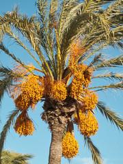Date tree (Phoenix Dactylifera)