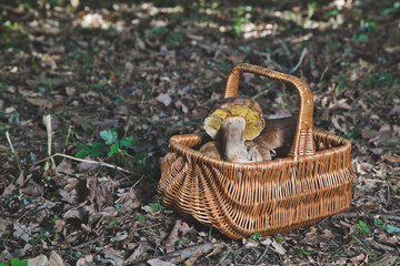 Forest gifts. White mushrooms in wicker basket