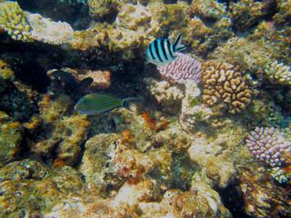 Blauer Fisch im Great Barrier Reaf