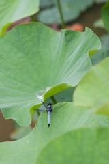 蓮の葉にとまるトンボ