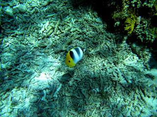 Gelber Fisch im Great Barrier Reaf