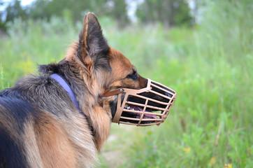 muzzled German shepherd