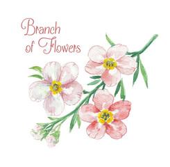 Branch of apple blossom