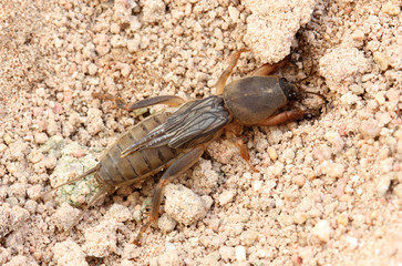 Mole Cricket on the ground