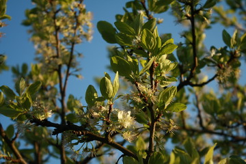 Blooms of a Pear tree
