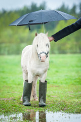 Little shetland pony wearing wellies and standing under umbrella in a rainy day